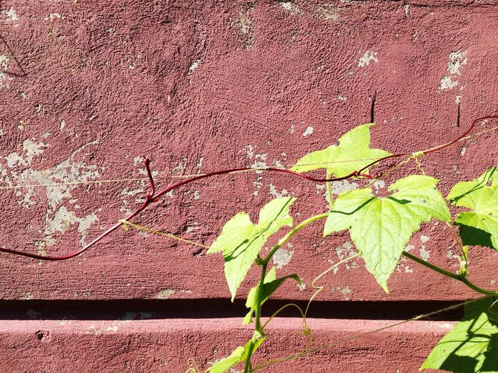 Ivied wall Ivy