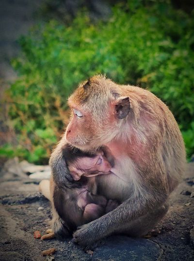 motherly duties Love Hug Mother Nature Is Amazing Motherly Love Mother Duties Ape Monkey Family Wildlife & Nature Animals In The Wild Animal Wildlife One Animal Mammal Outdoors No People Day Animal Themes Close-up Nature