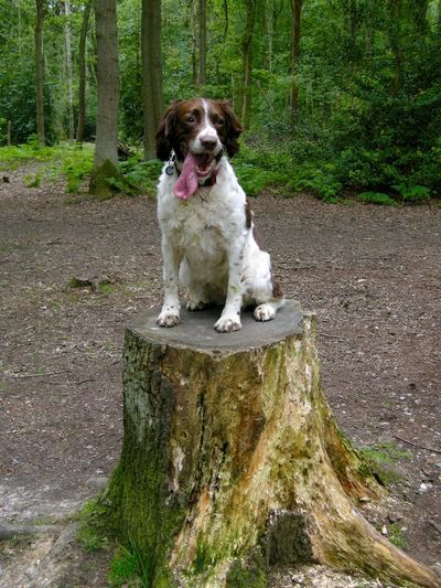 Daisy takes a break Relaxing Summertime Springer Spaniel Dog Walking Dogs Woodland Walks