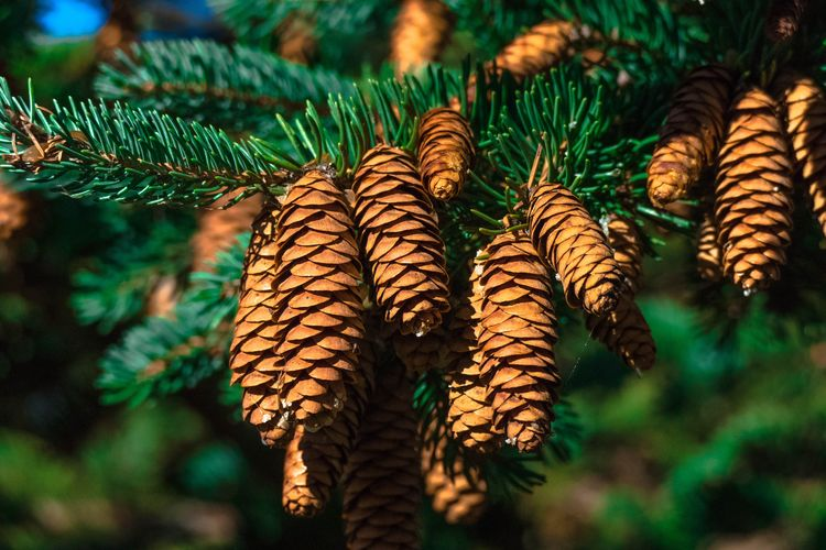 Close-up of pine hanging on tree