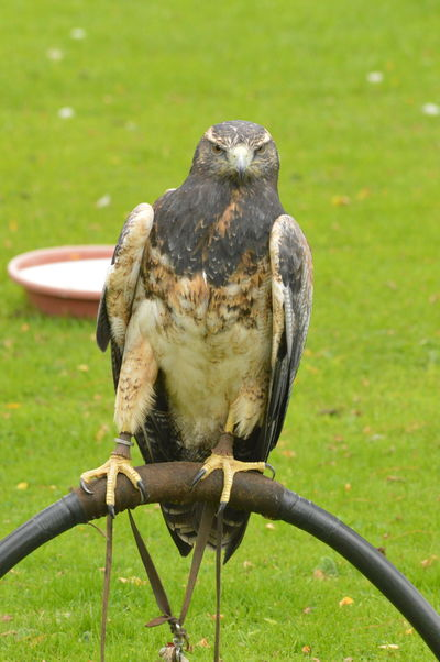 EyeEm Selects Outdoors No People Nature No Edit, No Filter, Just Photography Falconry Spread Wings ICBP International Centre For Birds Of Prey Bird Of Prey Raptor Blue Buzzard Eagle