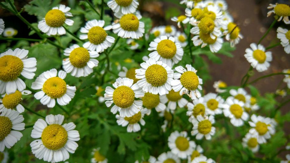 Bachelor's Buttons Beauty In Nature Blooming Botany Chrysanthemum Parthenium Close-up Daisy Feverfew Flower Focus On Foreground Freshness Hierba Medicinal In Bloom Matricaria Matricaria Parthenium Nature Petal Plant Pyrethrum Parthenium Tanacetum Parthenium Urban Photography Travel Still Life Fine Art Street Photography