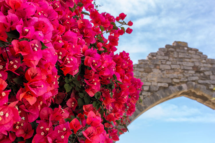 Summer in Provence Ancient Civilization Architecture Beauty In Nature Bougainvillea Building Exterior Built Structure Close-up Cloud - Sky Day Flower Fragility Freshness Growth Low Angle View Mediterranean  Nature No People Outdoors Pink Color Provence Red Sky South Of France Tourist Tree