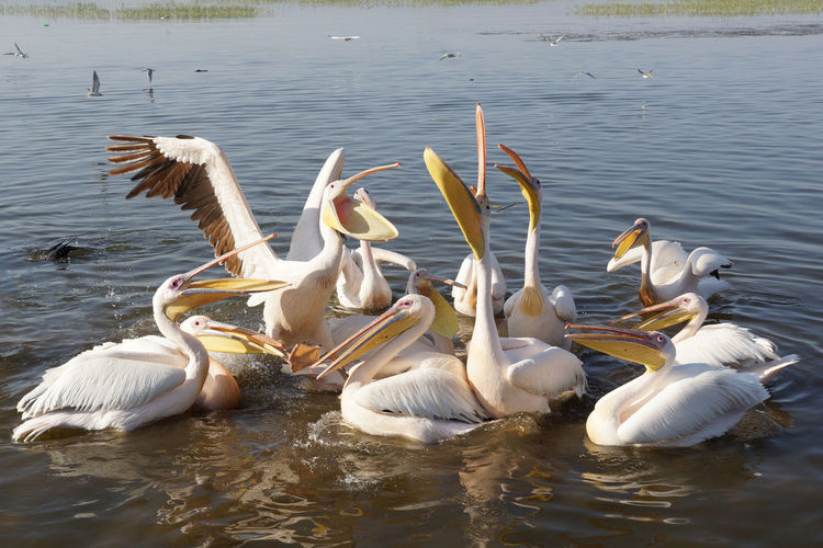 Great White Pelicans on Lake Awassa, Ethiopia, Africa Africa Animal Animal Themes Animals In The Wild Awassa Beauty In Nature Bird Ethiopia Fauna Great Rift Valley Great White Pelican Lake Lake Awassa Large Group Of Animals Nature Nature Outdoors Pelecanus Onocrotalus Pelican Swimming Togetherness Travel Travel Destinations Water Wildlife