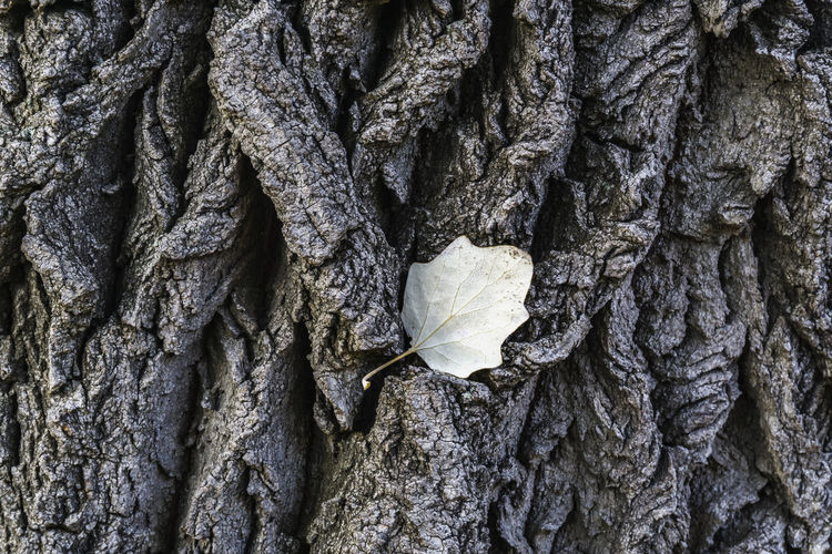 Full Frame Close-Up of Tree Bark with Small Leaf Berlin Color Image Germany 🇩🇪 Deutschland Horizontal Outdoors No People Backgrounds Full Frame Textured  Tree Trunk Trunk Close-up Day Pattern Tree Rough Plant Nature Textured Effect Natural Condition Focus On Foreground Leaf Growth Beauty In Nature Bark