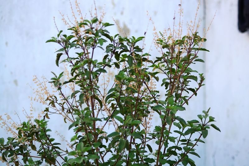 Taking Photos Tulsi Plant Godess Riligious Plant