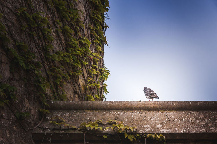 Pigeon Taube Animal Wildlife Animal Animals In The Wild Animal Themes Vertebrate One Animal Bird Plant Tree Low Angle View Nature Perching Day Sky No People Architecture Clear Sky Trunk Built Structure Tree Trunk Outdoors