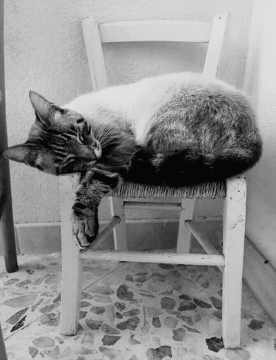 Sleeping Cat Black And White Old Chair Beautiful Cat Animal Sweet