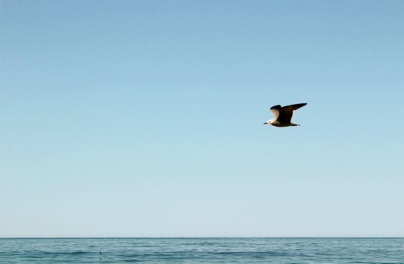 Bird Water Spread Wings Flying Sea Clear Sky Jumping Full Length Mid-air Bird Of Prey Shore