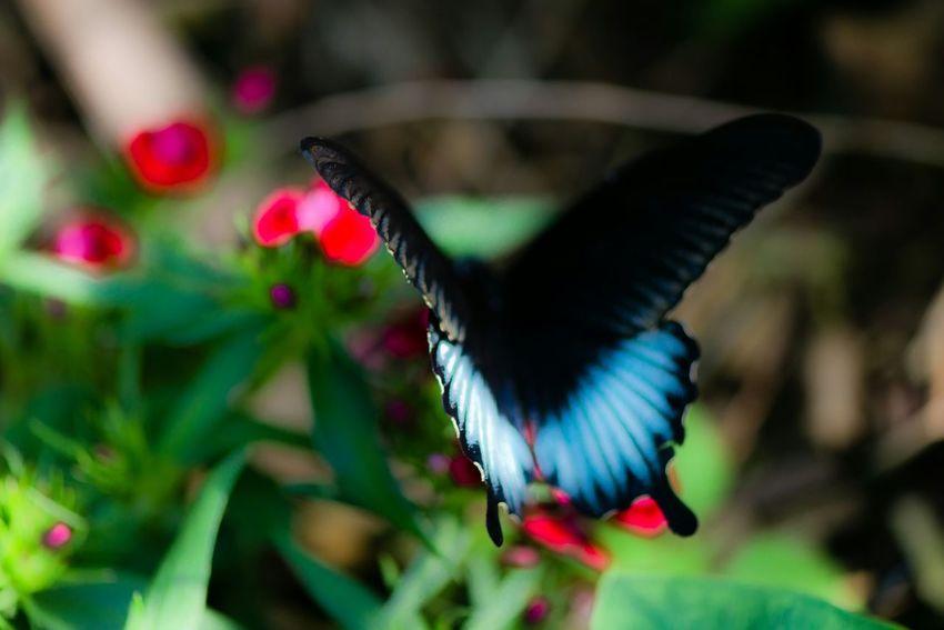 Blaue Wolke Butterfly Nofilter Animals Eye4nature EyeEm Best Shots Cobalt Blue By Motorola