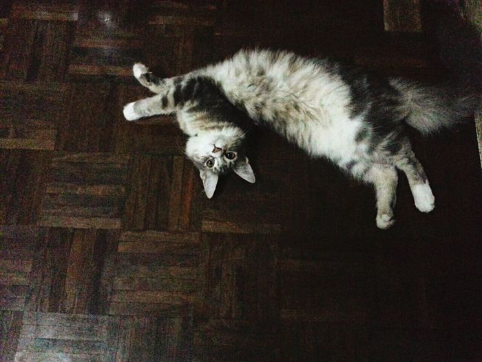 I can't stand, she's too cute!!! Maine Coon My Pet Cat