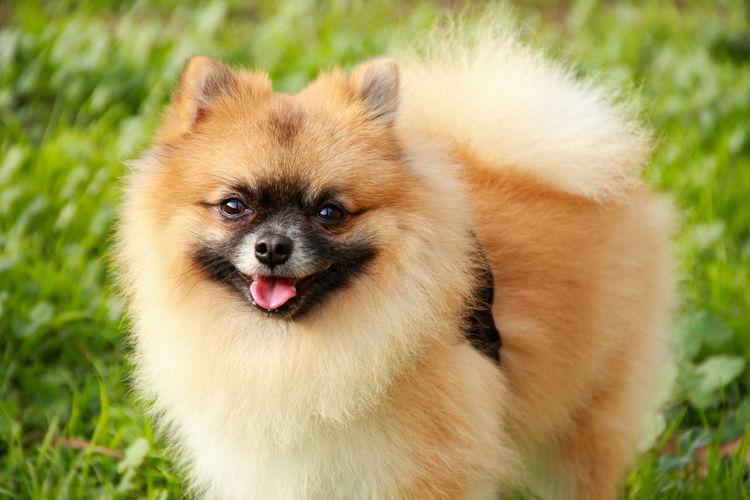 Portrait Of Pomeranian On Field