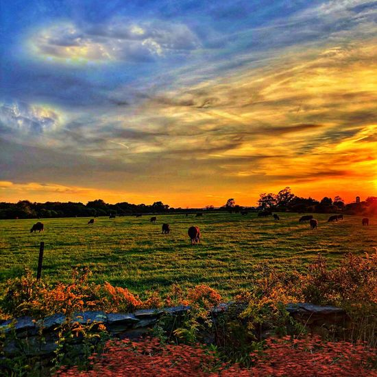 Sky Field Landscape Cloud - Sky Beauty In Nature Agriculture Land Rural Scene Tranquil Scene Tranquility Nature Flowering Plant Orange Color Flower Farm Environment Plant Growth Sunset Scenics - Nature