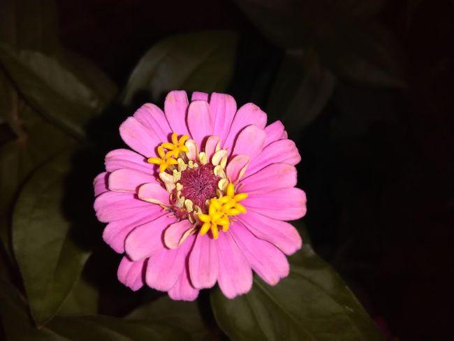 My Garden Flowerphotography Flower Collection Zinniaflower Zinnia Plant Nature Pinkflowers Pollen Pink Blossoms Zinnia Flower Growth Roses, Flowers, Nature, Garden, Bouquet, Love, Beauty In Nature Flowerporn Petal Day Flower Flower Head Blooming Close-up Fragility