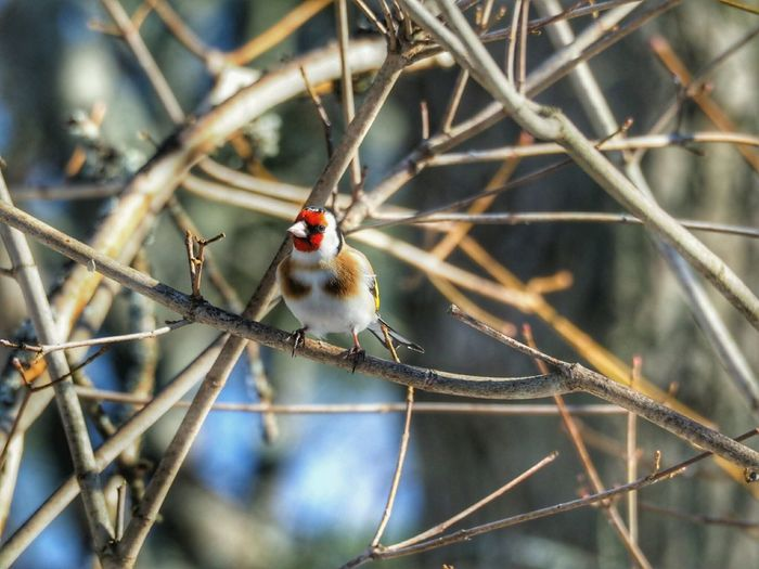 European Goldfinch Nature_collection Nature Beauty Winter Nature Outside Bird Photography Birdwatching Nature Beautiful Nature Winter Nature Bird Wings Bird On A Branch Bird Photography Colourful Nature Colours Of Nature Bird Starring At You Birds_n_branches Perching Close-up Animal Themes