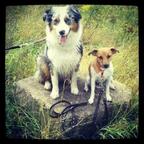 My Dogs Are Cooler Than Your Kids Dansk-Svensk Gårdshund Aussie Australianshepherd