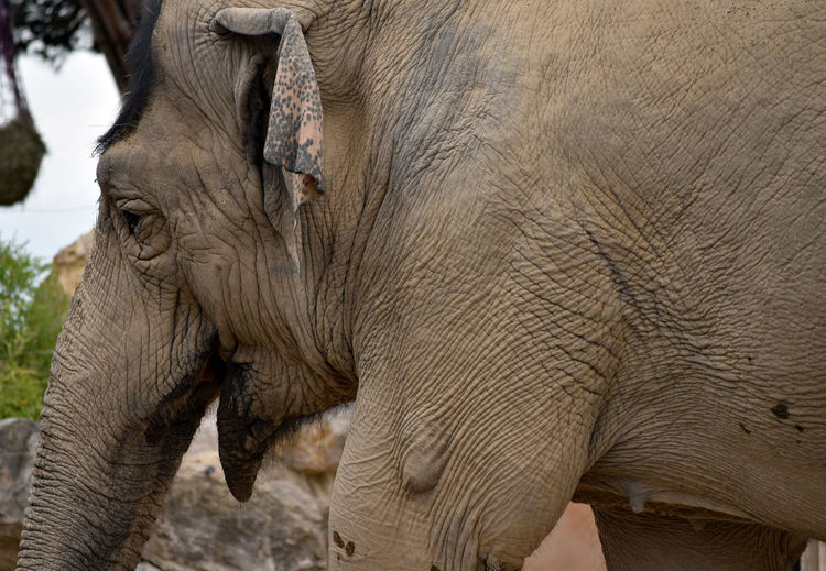 Close-up of an elephant in zoo