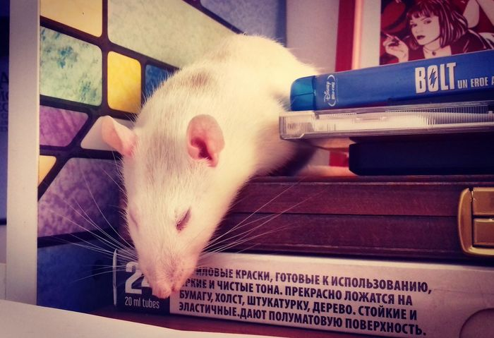 FancyRat Rat Rodent Rodents Ratto Pets Pet White White Rat Animali Animali Domestici Topo Sleep Sleeping ZzZzZz