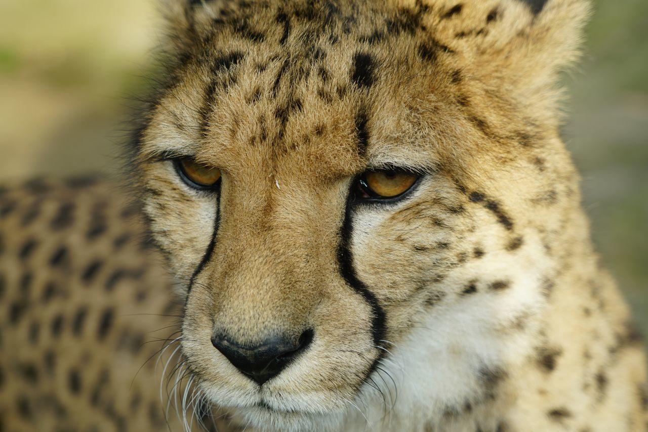 one animal, animal themes, animals in the wild, cheetah, close-up, animal wildlife, focus on foreground, animal head, day, animal markings, no people, mammal, safari animals, outdoors, portrait, leopard, nature