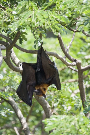 Foxbats in Thailand ASIA Bat Nature Thailand Animal Themes Animal Wildlife Animals In The Wild Bat - Animal Branch Day Fox Fox Bat Foxbat Fruit Green Color Growth Low Angle View Mammal Nature No People One Animal Outdoors Spread Wings Tree Wild