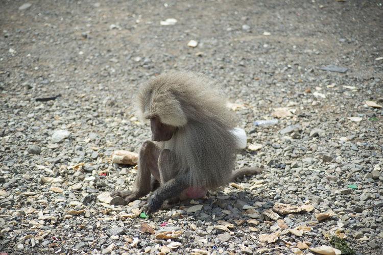 Baboon Sand