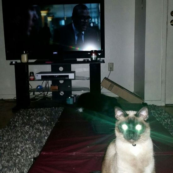 Example of my stalker kitty..and I forgot to mention her eyes glow all the time... StalkerCat Glowing Eyes Kitty Tv Time Kittylove Kitty Stare Looking At The Camera One Animal Cats Of EyeEm Laser Eyes Nooni Check Me Out Domestic Cat Pets Feline Domestic Animals What Are YOU Looking At?
