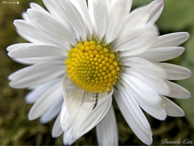 Apple Photography Apple Photos Beauty In Nature Blooming Close-up Daisy Elégance Flower Flower Head Fragility Freshness Growth IPhone 6s Iphonephotography Nature Olloclip Olloclip_macro Petal Pollen Softness Springtime White White Color Yellow