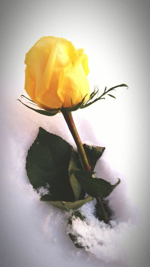 Even in snow a rose is still a rose.