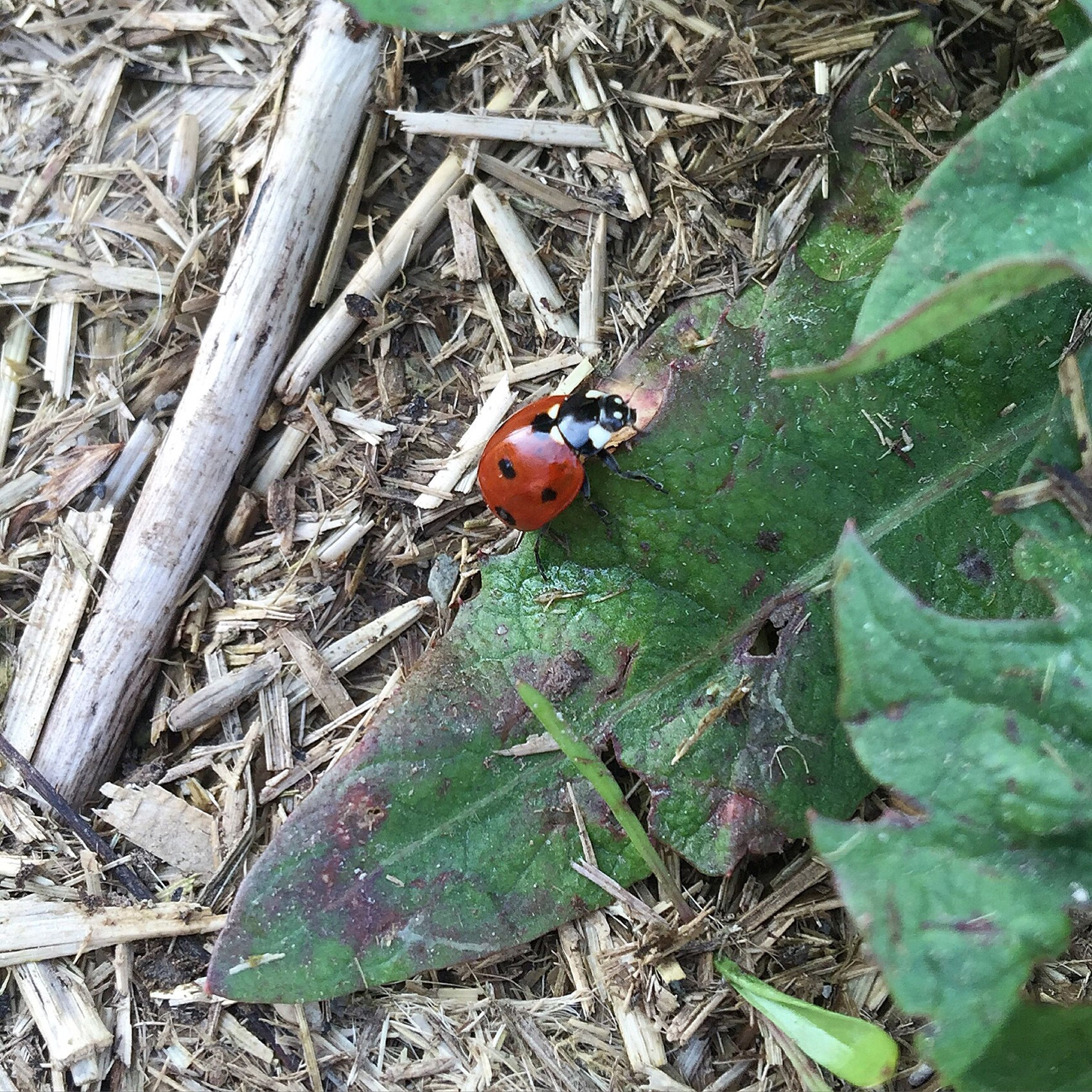 leaf, high angle view, animal themes, nature, insect, green color, wildlife, autumn, field, one animal, close-up, plant, growth, day, ladybug, animals in the wild, leaves, outdoors, grass, dry