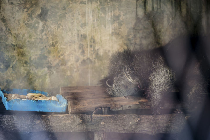 Porcupine sleeping on bench in cage at zoo
