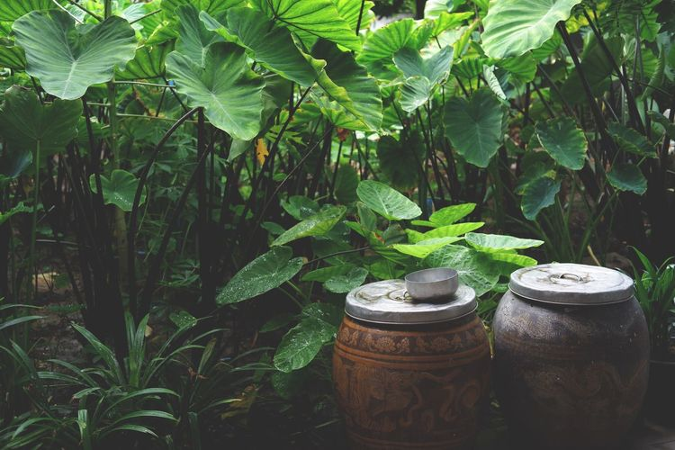 Glazed water jar Water Jar Ong Mungkorn Thailand Nature Thai Country Plant Growth Leaf Plant Part Green Color Nature Tree Day Container No People Front Or Back Yard Outdoors Beauty In Nature Potted Plant Agriculture Food And Drink Freshness Garden Botany Land