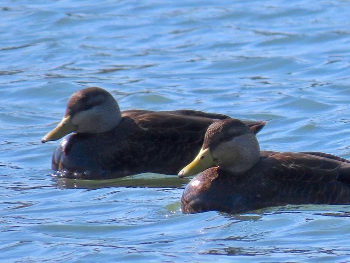 American black ducks swimming water ripples outdoors Birds of EyeEm beauty in nature animal themes Animal Wildlife Water No People