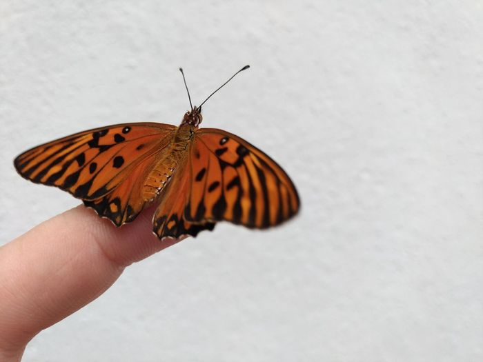 Monarch butterfly sitting on the tip of the finger, white background, Caption space, Bug Monarch Butterfly Sitting On The Tip Of The Finger, White Background, Caption Space, Wing Animals In The Wild Background Butterfly - Insect Caption Space Closeup Day Detail Finger Fragility Insect Insect Photography Macro Monarch Monarch Butterfly Nature One Animal Summer Tip Of The Finger White Background Wings Yellow