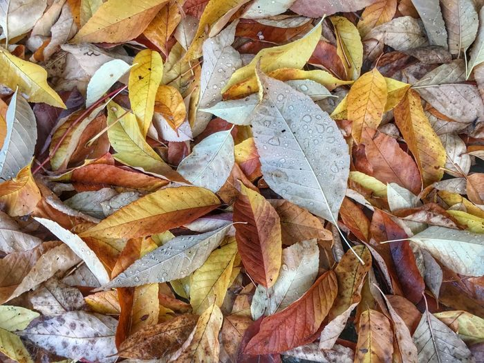 Autumn Leaves Fall Leaves Mobiography IPhoneography IPS2015Fall Leaves