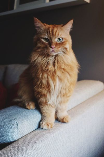 One Animal Mammal Animal Themes Pets Domestic Cat Domestic Animals Feline Sofa Sitting Looking At Camera Indoors  (null)