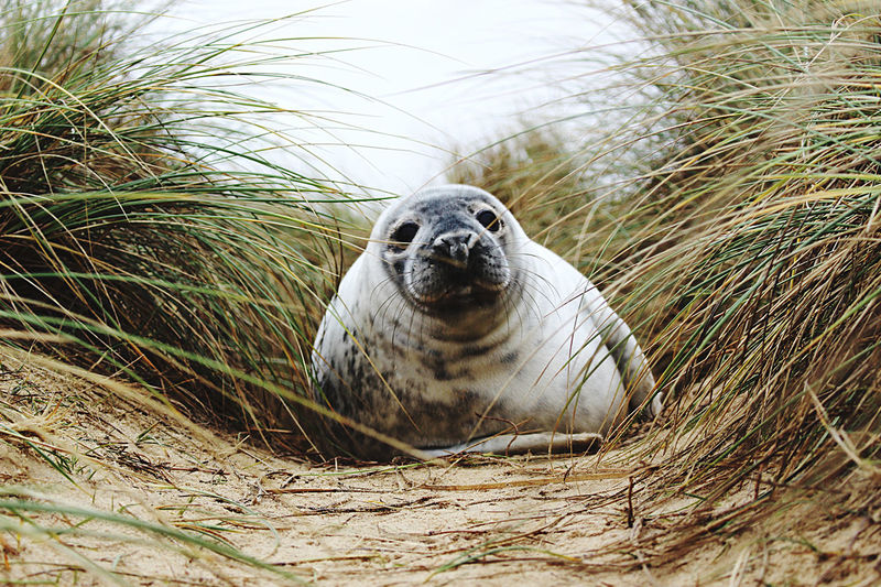 Seal in the dunes