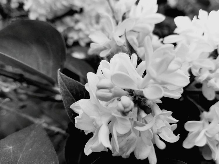 Nature Nature_collection Nature Photography Spring Flower White White Flower Syringa Vulgaris Syringa Blackandwhite Black And White Black & White