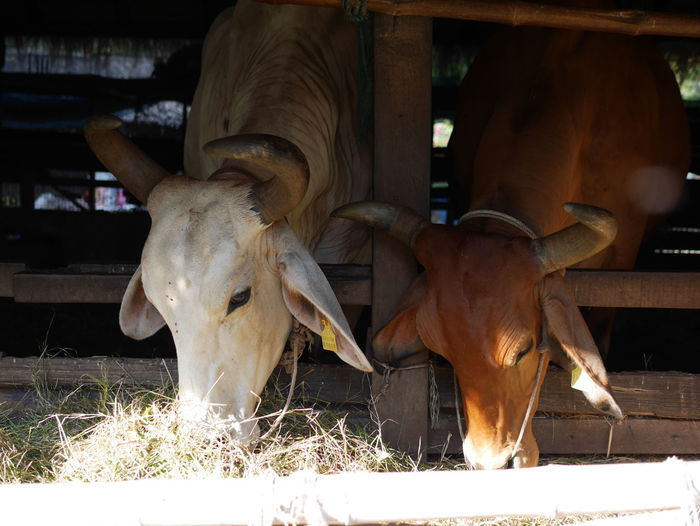 Caw 🐮 Caws Animal Beef Beefsteak Dairy Farm Bull - Animal