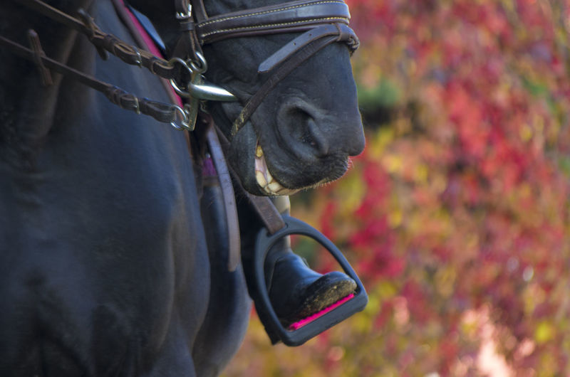 leg jockey sitting on a black horse in the stirrups on the background of colorful autumn leaves Animal Horse Domestic Mammal Domestic Animals Autumn Pets Nature Outdoors Animal Themes Animal Head  Livestock Cute Teeth Backgrounds Horse Riding School Jockey Equestrian Rider Stirrup Muzzle Legs Portrait Of A Woman Stapes