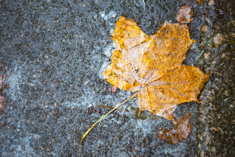 Close-up of yellow maple leaf on rock