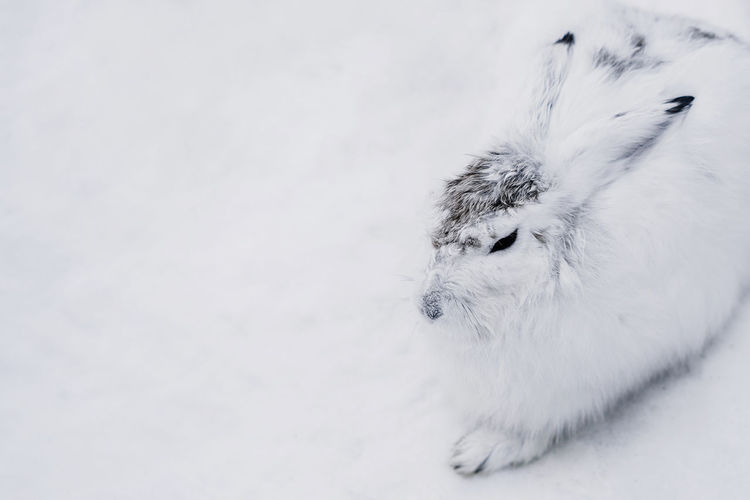 animal themes pets snow rabbit white cold temperature Cold Weather Winter Wild animal wildlife Copy Space Snowshoe Hare Snowshoe hare mammal furry cute Arctic hare One Animal Animal Themes White Color No People Animal Mammal Vertebrate Furry Furry Friends Furry Friend Rabbit Hare Snowshoe Snowshoe Hare Snow Water Cold Temperature Cold Climate Wildlife Wild Animal