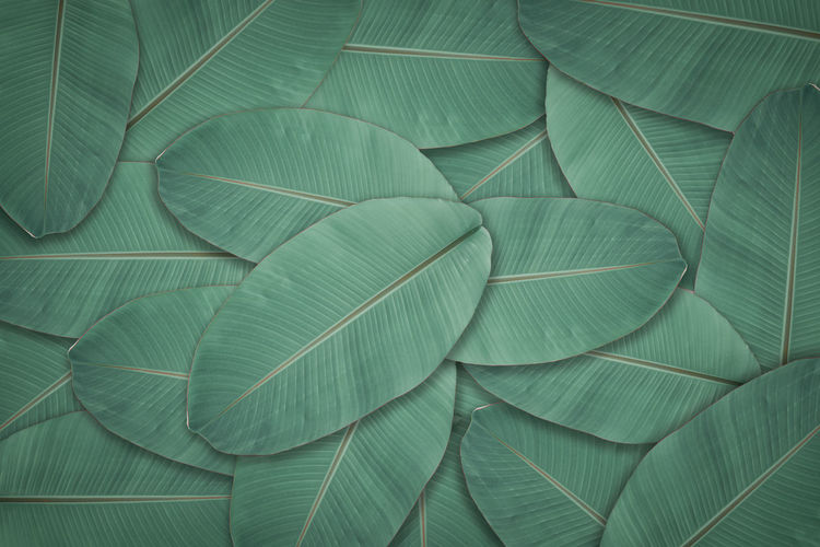 Dark green leaves texture background. natural leaf plant for backdrop or wallpaper.