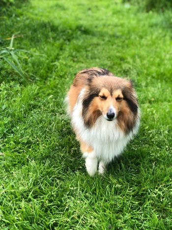Dog In Garden Dog In Grass Sheltie Animal Themes One Animal Mammal Animal Grass Plant Green Color Dog Domestic Animals Pets No People Vertebrate Canine Outdoors Nature Land Domestic Field Growth Day