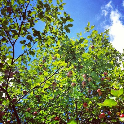 Score! Wild apple tree on a new trail Vt Vtphoto Vermont Vermontbyvermonters greenmountainstate instagood photooftheday igvermont ignewengland cloudporn cloudscape lovely apples