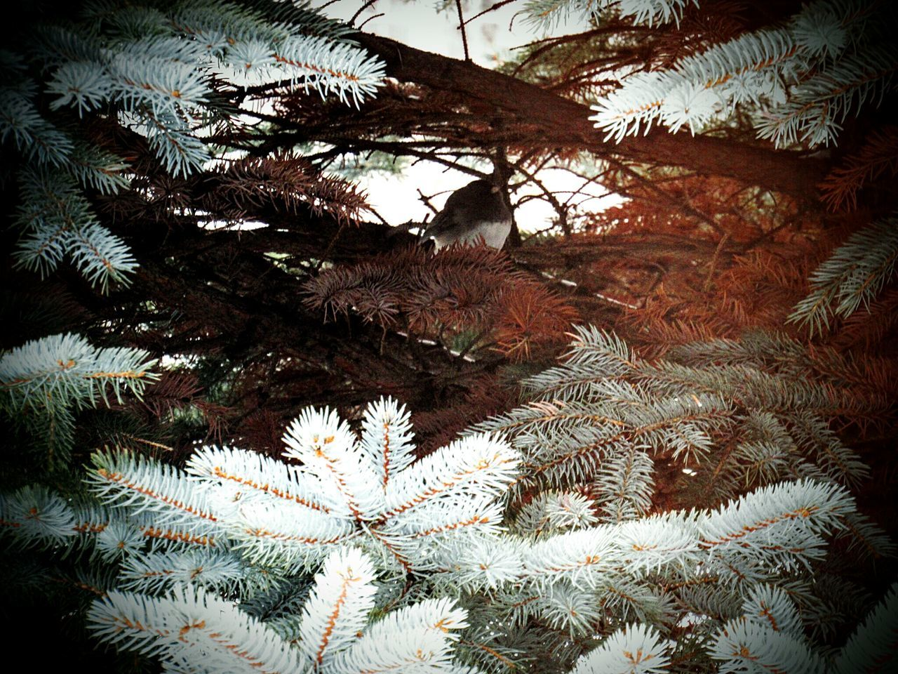 tree, christmas, christmas tree, growth, no people, celebration, pine tree, close-up, nature, branch, day, hanging, outdoors, winter, spruce tree