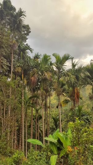 Banana Tree Jardin Secret Tree_collection  Trees And Nature EyeEmNewHere Tree Agriculture Sky Green Color Plant Coconut Palm Tree Coconut Tropical Tree Palm Tree