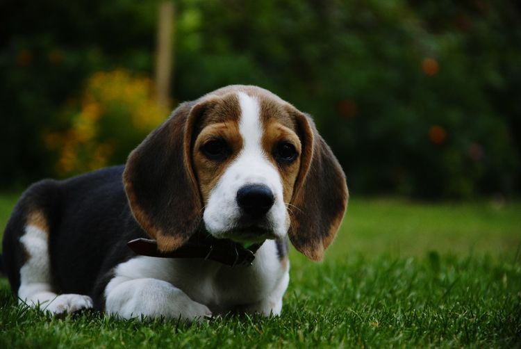 Puppy Beaglepuppy Beagle Beaglelovers