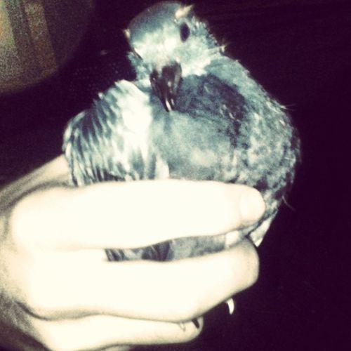 Szebi befogadta Bird Galamb Young Madar Night Save Animals