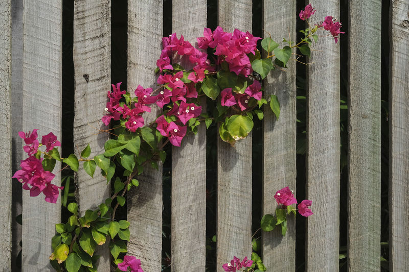 Close-up of pink flowering plants by fence