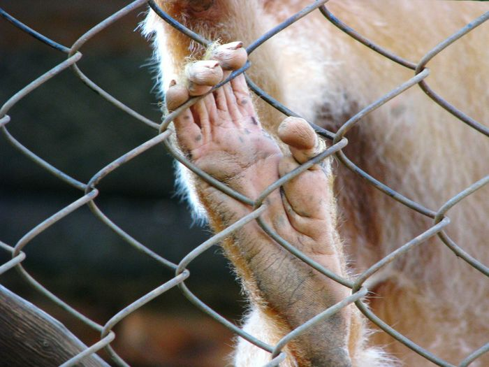 Close-up of monkey in cage at zoo